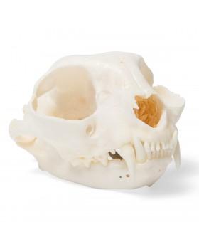 Kedi Kafatası Modeli