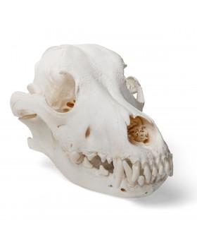Köpek Kafatası Modeli, L
