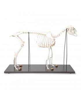 Koyun İskelet Modeli