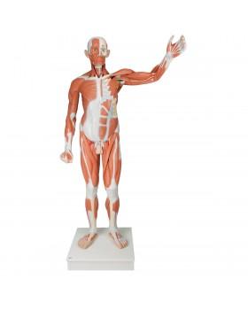 Gerçek Boyutlarında Erkek Kas Modeli, 37 Parçalı