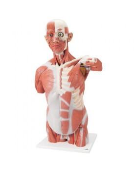 Gerçek Boyutlarında Kaslı Torso Modeli, 27 Parçalı