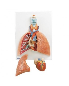 Akciğer Modeli, Gırtlak İle Birlikte, 5 Parçalı