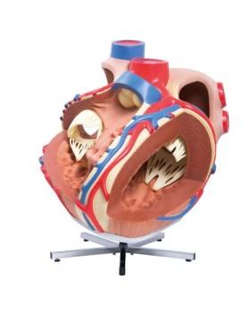 Dev Kalp Modeli, 8 Kat Büyütülmüş