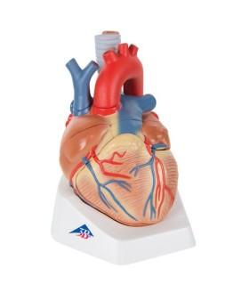 Kalp Modeli, 7 Parçalı
