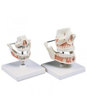 Yetişkin Diş Modelleri
