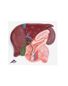 Safra Kesesi, Pankreas ve Onikiparmak Bağırsağıyla Birlikte Karaciğer Modeli