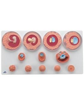 12 Evrede Embriyonik Gelişim Modeli