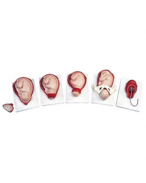 Doğum Evreleri Modeli