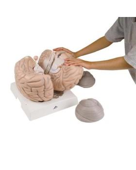 Beyin Modeli, 2,5 Kat Büyütülmüş, 14 Parçalı