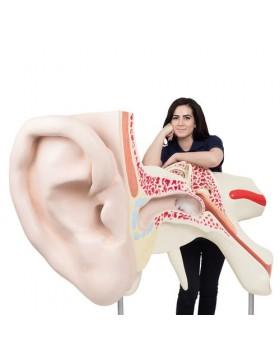 Dünyanın En Büyük Kulak Modeli, 15 Kat Büyütülmüş, 3 Parçalı
