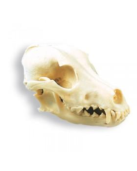 Köpek Kafatası Modeli, (Canis domesticus)