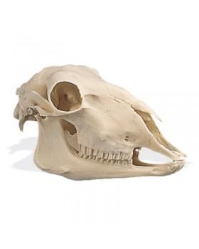 Koyun Kafatası Modeli (Ovis Aries)