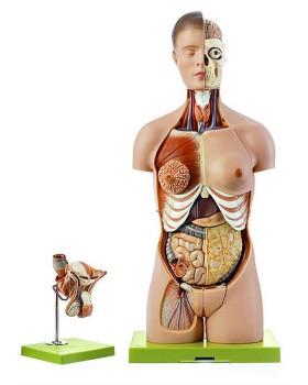 Başlı, Değiştirilebilir Erkek ve Kadın Genital Organlı Gövde Modeli