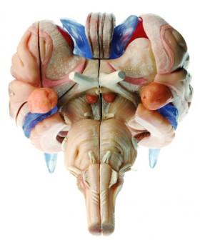 Beyin Sapı Modeli, 12 Parçalı
