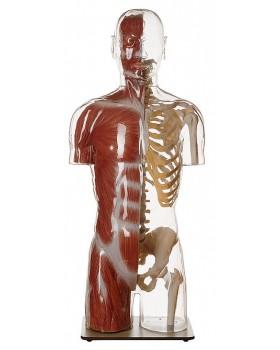 Başlı Transparan Kaslı Gövde Modeli