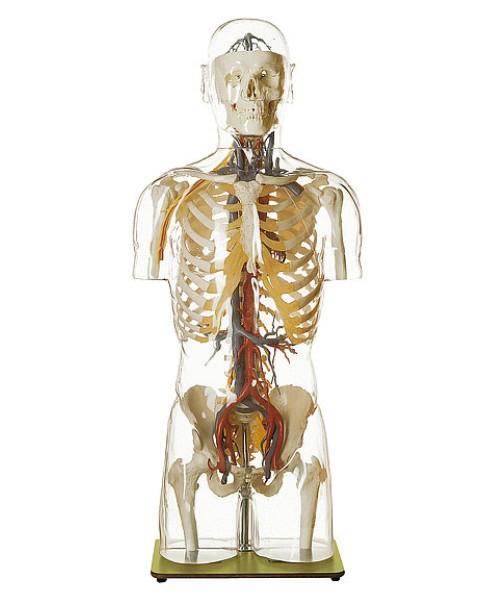 Kan Damarları ve Başlı Transparan Gövde Modeli