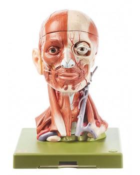 Baş Kasları ve Beyin Modeli