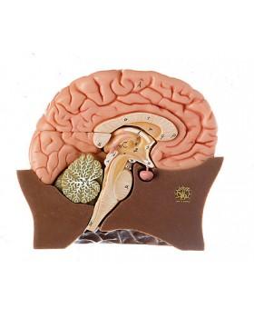 Yarım Beyin Modeli