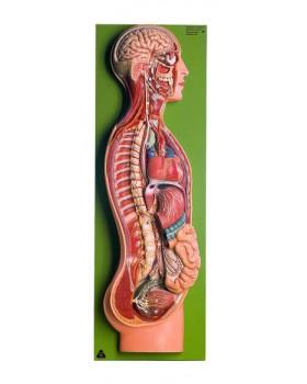 Sempatik Sinir Sistemi Modeli
