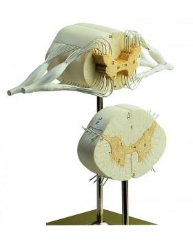 Sinir Dalları ile Omurilik Modeli