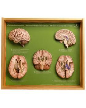 Beynin 5 bölüm Modelleri