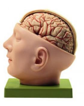 Beyin ve Dura Materli Kafa Tabanı Modeli