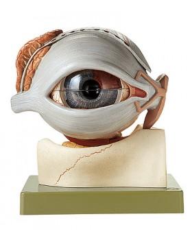 Göz Küresi Modeli