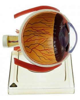 Sağ Yarım Göz Modeli