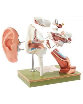 Kulak Kepçeli Kulak Modeli
