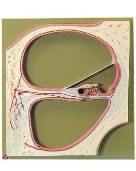 Cochlea'nın Orta Spiralinden Kesit Modeli