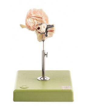 Yapay Temporal Kemik Modeli